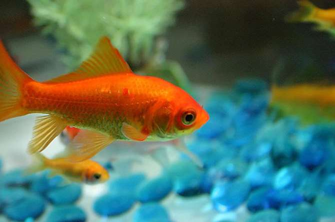 A goldfish has an attention span of 9 seconds--that is 1 second longer than your customers. Find out how web marketing can help your business. Image of a goldfish is licensed by CC BY-SA 2.0